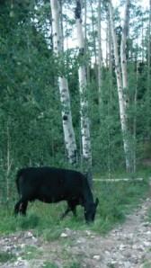 Cows at the trailhead