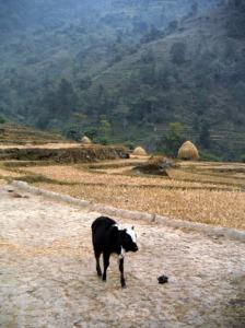 A local cow