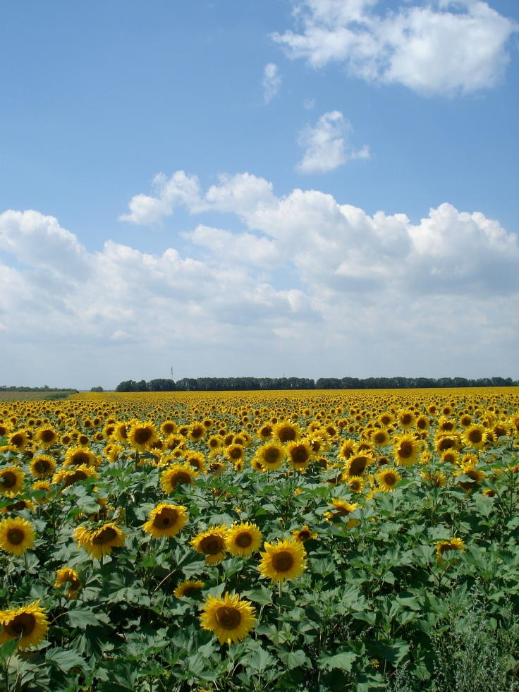 Ukrainian Sunflowers